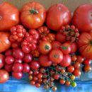 Rdeči paradižniki na kupu