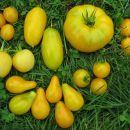 Rumeni (Yellow) paradižniki