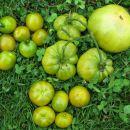 Zeleni (Green when ripe) paradižniki