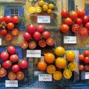 Balkonski (Patio) paradižniki