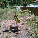 bananovec
