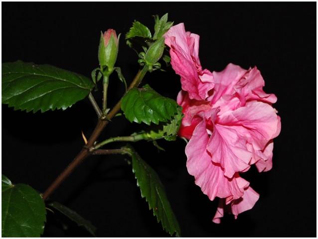 Kitajski oslez - hibiscus sinensis 02 - foto