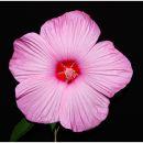močvirski hibiskus  - Hibiscus moscheutos 05
