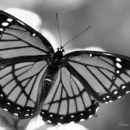 Pa še edn metulčk, taj črno-beu!