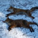 Bazensko lov V Dobravi 05.02.2005, uplenjeni 2 lisici. Spodnja je precej garjava.