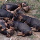 Speči psi