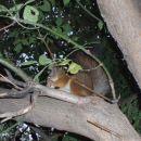 Veverica v moskovskem parku