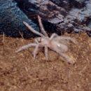 L.Parahybana zelo mlada