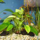 Akvarijske rastline (Anubias)