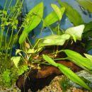 Anubiias lanceolata