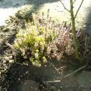 Rastlina z vrta moje babice