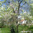Drevo-bela češnja, z babičinega vrta
