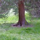 Če pogleaš ob dnu drevesa, vidiš veverico