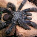 A. metallica samec 7 mesecev ni jedel