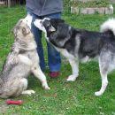Starša-Kim in Siba, Ribnica
