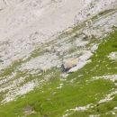 Ovce pri svojem opravilu.