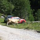 Krave so v okolici Vršiča vsakdanji pojav.