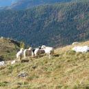 Ovce imajo še veliko prostora za pašo.