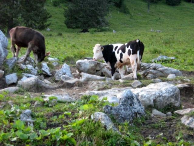 Še dva bika, ki se nista menila za fotografa.