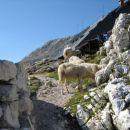 Na Doliču so naju pozdravile ovce.