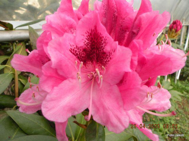 Cvetovi  - rododendrom