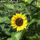 čebele na sončnici