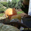 Buča velikanka ima okrog 126 kg.