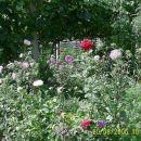 Cvetlična greda z astrami