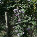 Modri hibiskus