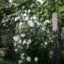 Beli hibiskus - zagibati