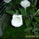Cvet kristavca se odpre zvečer. Takrat je najlepši. Ima zelo prijeten vonj
