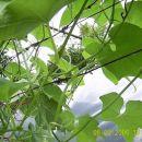Bilke čajote dosežejo do 30 m dolžine. Viden je tudi cvet.