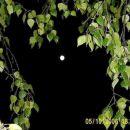 Na sliki je vidna luna. Posnetek je narejen med vejevjem breze