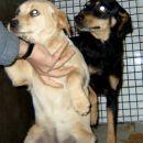 črnorjava samička 7-8 mesecev Grosuplje 051 302 832 ODDANA!!!