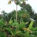 zgoraj papaye, spodaj banane