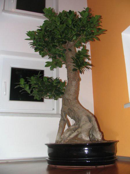 Bonsai - foto