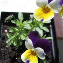 Divja mačeha; (lat. Viola Tricolor herba)
