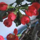 Cvetenje Chaenomeles Nicoline