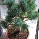 Pinus pentaphylla Beli japonski bor