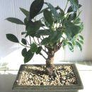 Ficus retusa – kitajsko figovo drevo