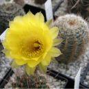 Lobivia quienensis WR 112