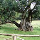Brioni- Detajl - (menda)1300 let stara oljka