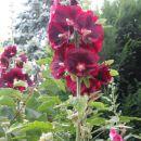 rožlin