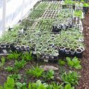 sadike v rastlinjaku