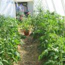 paradižnik v rastlinjaku