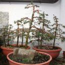 Smreke-gozd3