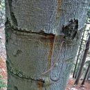 trpežno drevo