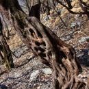 burja močno otežuje življenja dreves