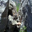 pajek iz lecca