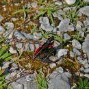 metuljček